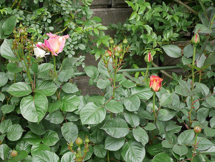 アブラカタブラ(木立バラ)の花がまた咲きだした。2019年-6.jpg
