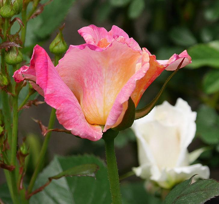 アブラカタブラ(木立バラ)の花がまた咲きだした。2019年-8.jpg