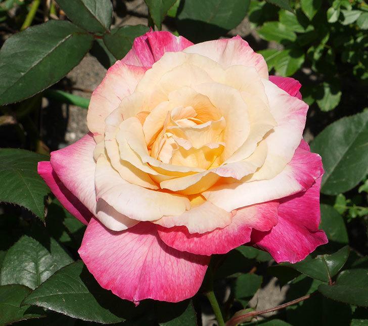 アブラカタブラ(木立バラ)の花が凄くでかくなった。2018年-2.jpg