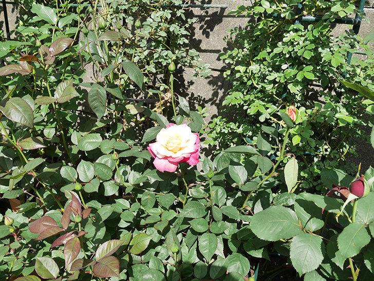 アブラカタブラ(木立バラ)の花が凄くでかくなった。2018年-3.jpg