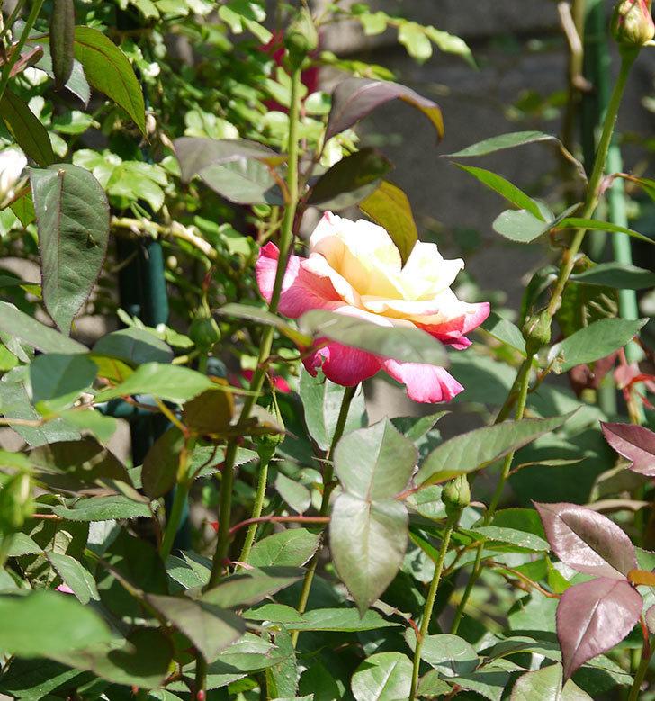 アブラカタブラ(木立バラ)の花が凄くでかくなった。2018年-4.jpg