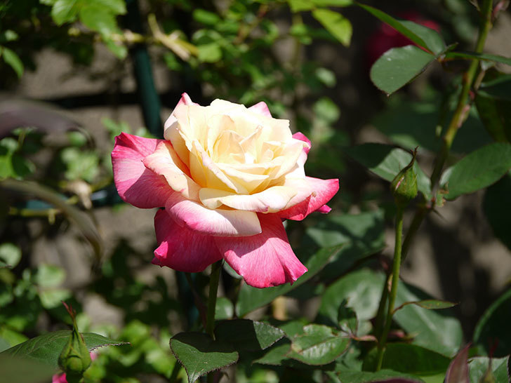 アブラカタブラ(木立バラ)の花が凄くでかくなった。2018年-5.jpg