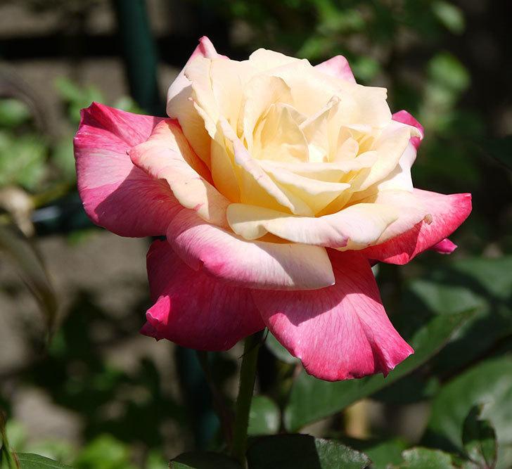 アブラカタブラ(木立バラ)の花が凄くでかくなった。2018年-6.jpg