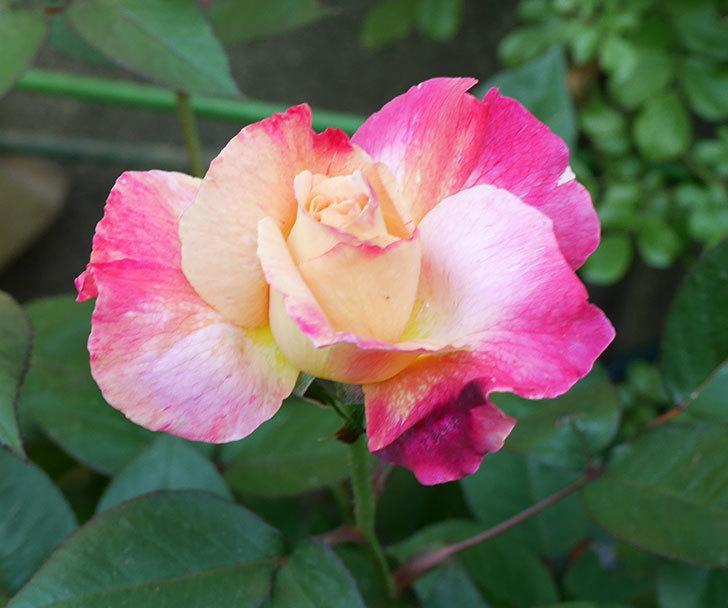 アブラカタブラ(木立バラ)の花が咲いた。2018年-2.jpg