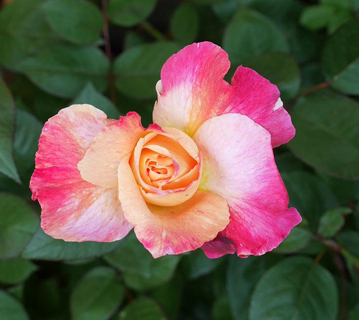アブラカタブラ(木立バラ)の花が咲いた。2018年-3.jpg