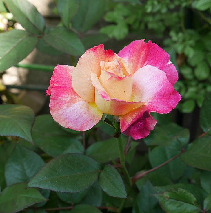 アブラカタブラ(木立バラ)の花が咲いた。2018年-4.jpg