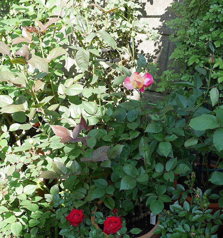 アブラカタブラ(木立バラ)の花が咲いた。2018年-5.jpg