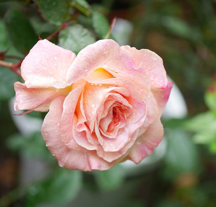 アブラカタブラ(木立バラ)の花が咲いた。2019年-1.jpg