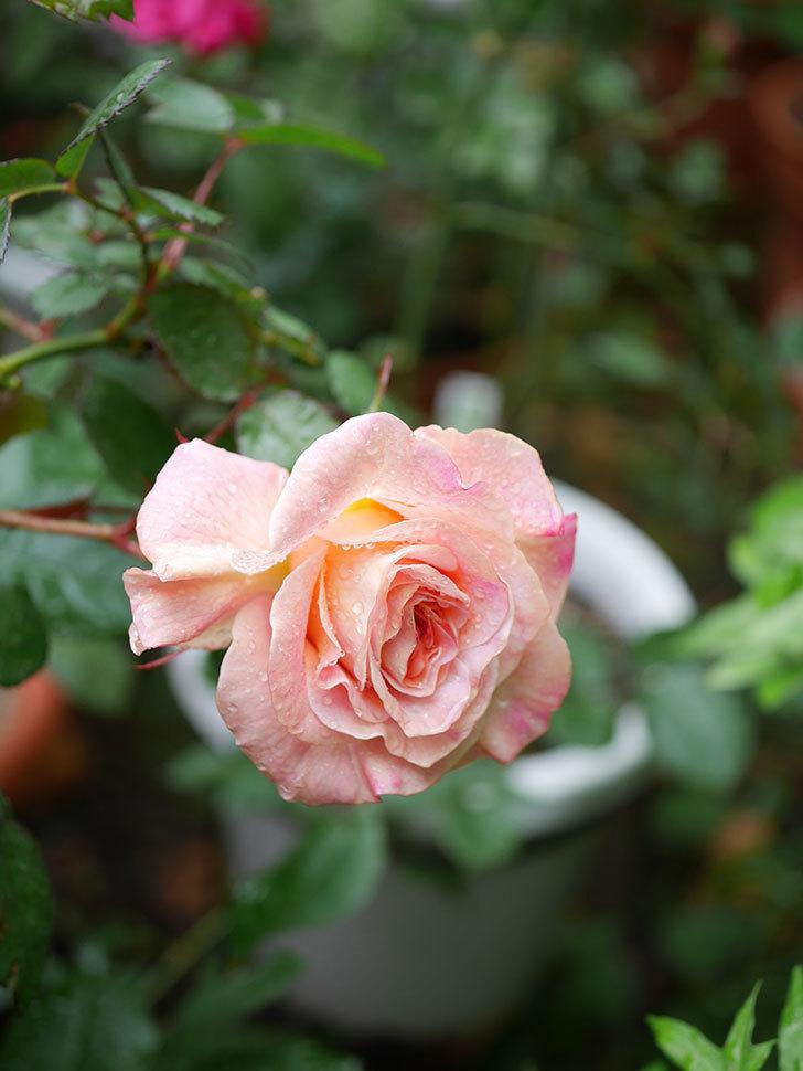 アブラカタブラ(木立バラ)の花が咲いた。2019年-2.jpg