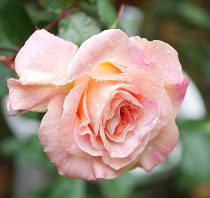 アブラカタブラ(木立バラ)の花が咲いた。2019年-3.jpg