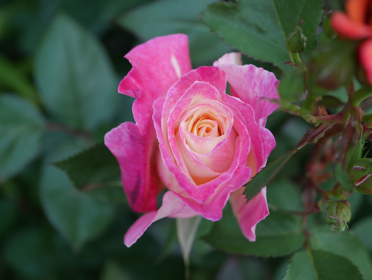 アブラカタブラ(木立バラ)の花が咲いた。2020年-1.jpg