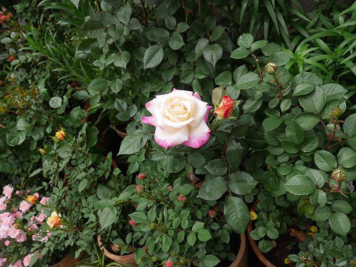 アブラカタブラ(木立バラ)の花が咲いた。2020年-11.jpg