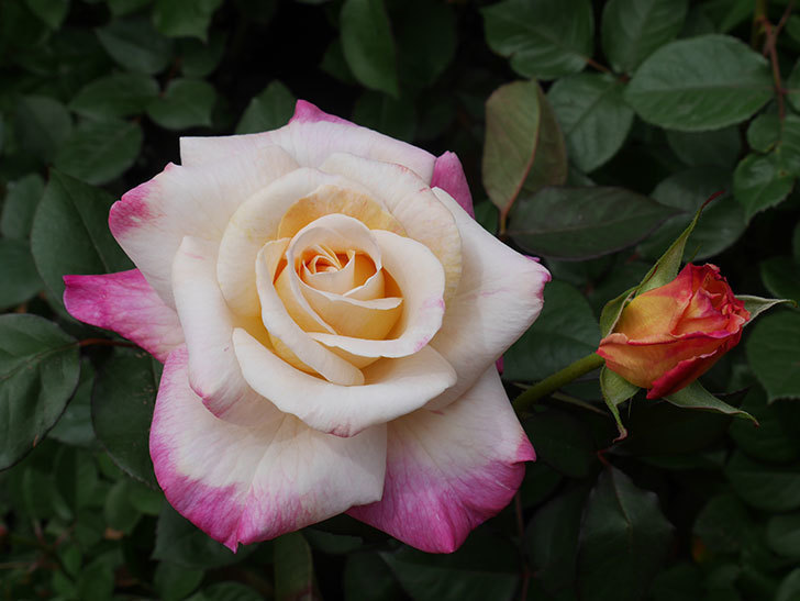 アブラカタブラ(木立バラ)の花が咲いた。2020年-13.jpg