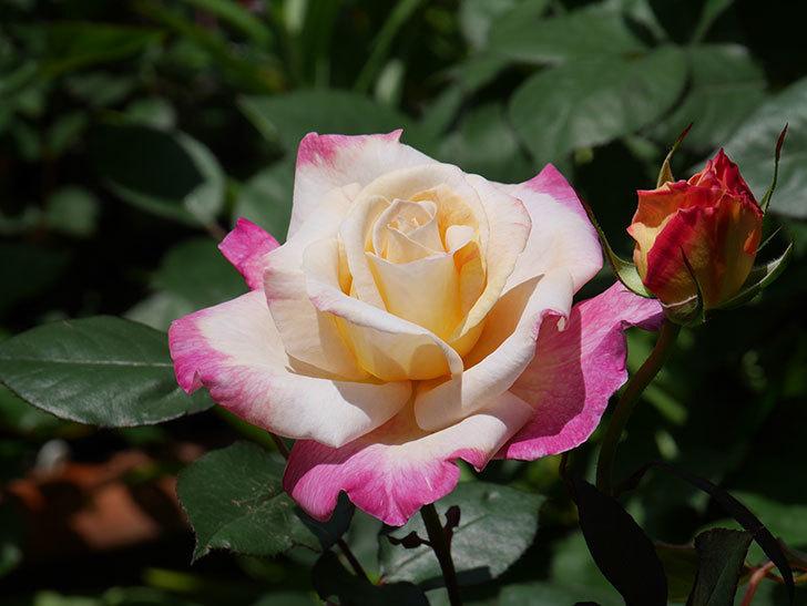 アブラカタブラ(木立バラ)の花が咲いた。2020年-7.jpg