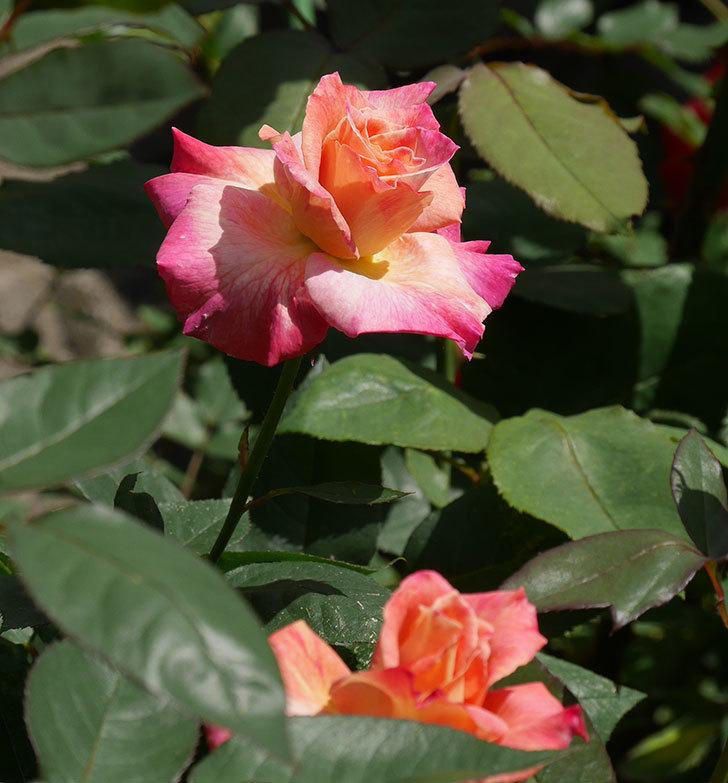 アブラカタブラ(木立バラ)の花が増えてきた。2018年-11.jpg