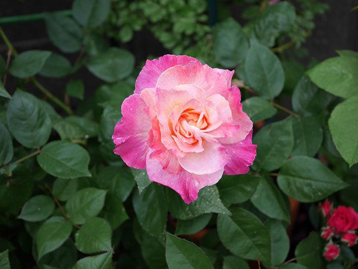 アブラカタブラ(木立バラ)の花が増えてきた。2018年-16.jpg