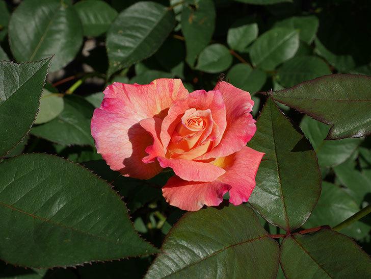 アブラカタブラ(木立バラ)の花が増えてきた。2018年-4.jpg