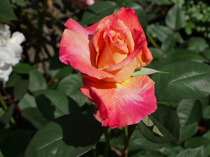 アブラカタブラ(木立バラ)の花が増えてきた。2018年-6.jpg