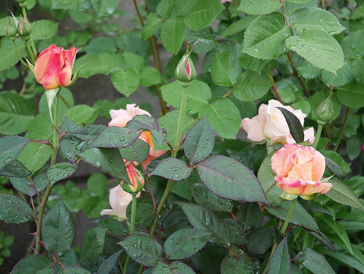 アブラカタブラ(木立バラ)の花が増えてきた。2020年-1.jpg