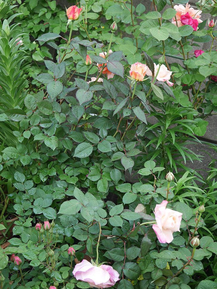 アブラカタブラ(木立バラ)の花が増えてきた。2020年-2.jpg