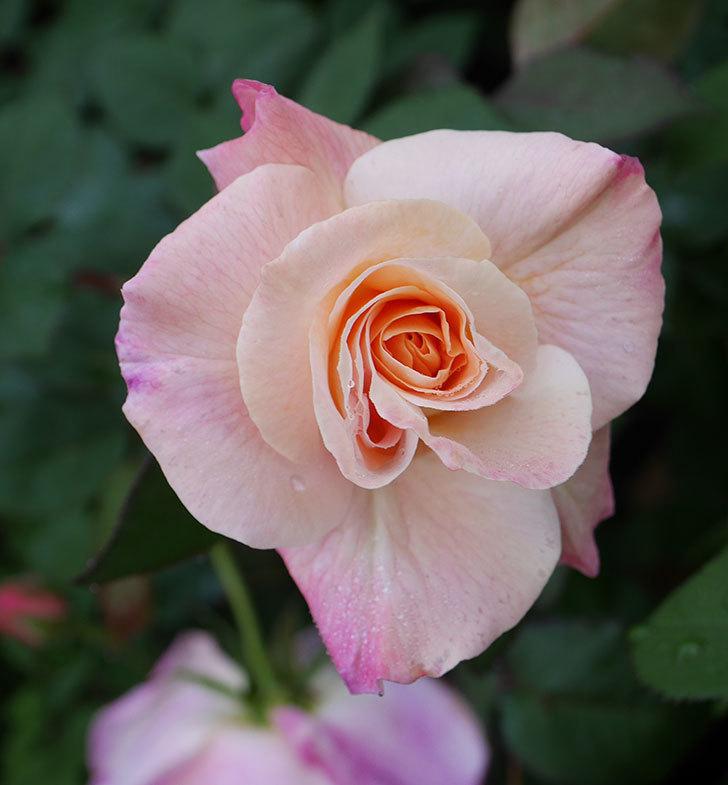 アブラカタブラ(木立バラ)の花が増えてきた。2020年-3.jpg