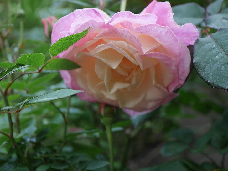 アブラカタブラ(木立バラ)の花が増えてきた。2020年-4.jpg