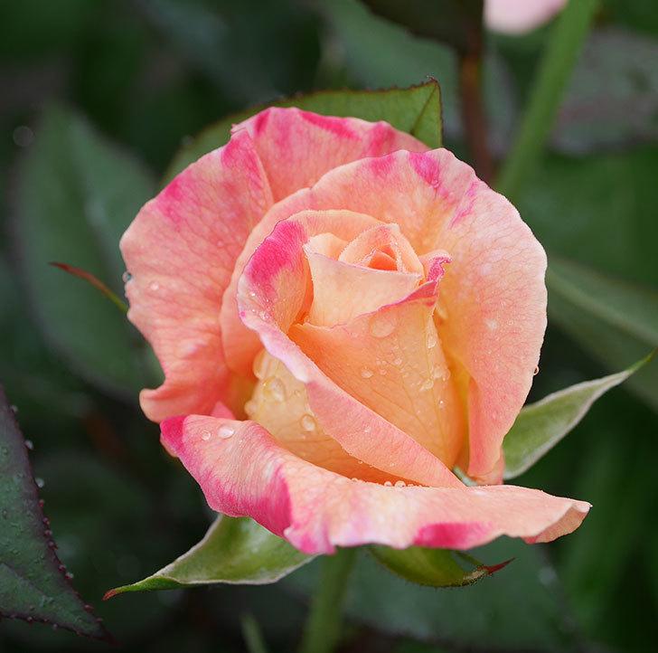アブラカタブラ(木立バラ)の花が増えてきた。2020年-5.jpg