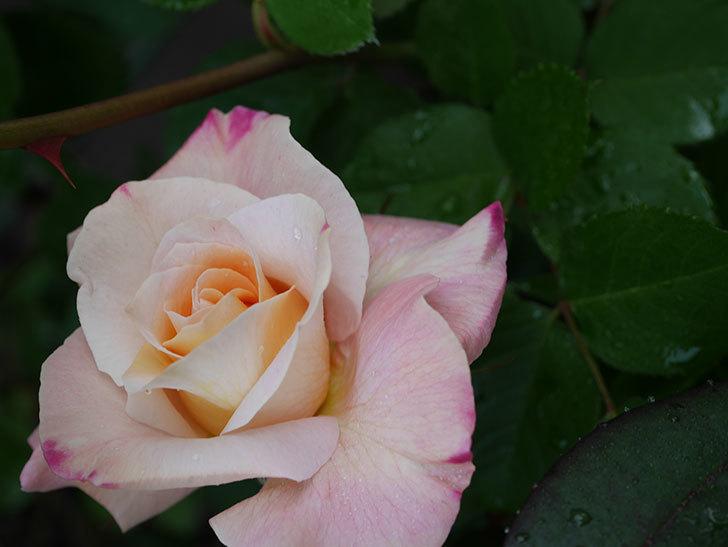 アブラカタブラ(木立バラ)の花が増えてきた。2020年-6.jpg