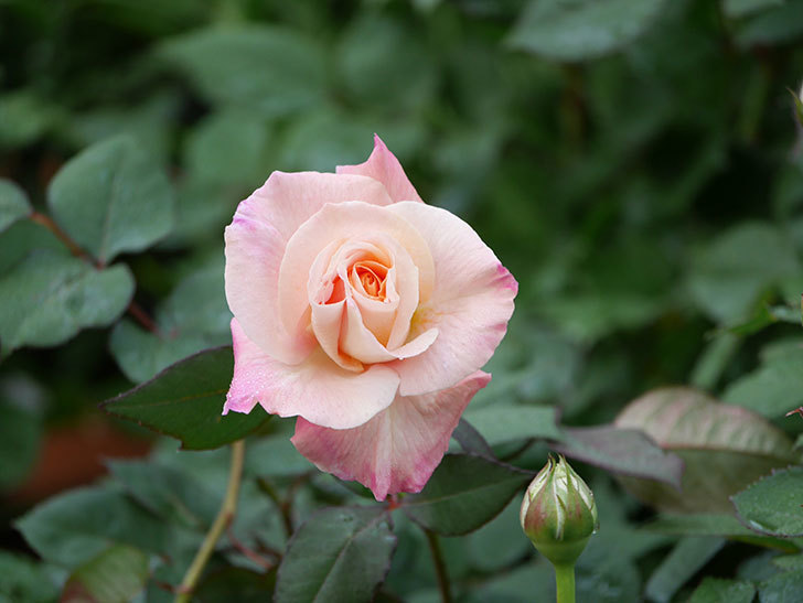 アブラカタブラ(木立バラ)の花が増えてきた。2020年-9.jpg