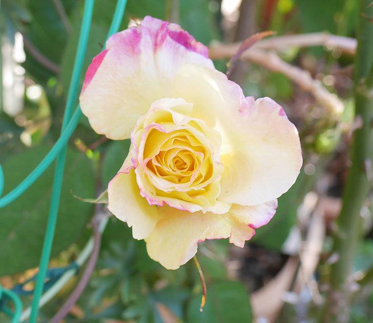 アブラカタブラ(木立バラ)の花が寒い中咲いた。2019年-1.jpg