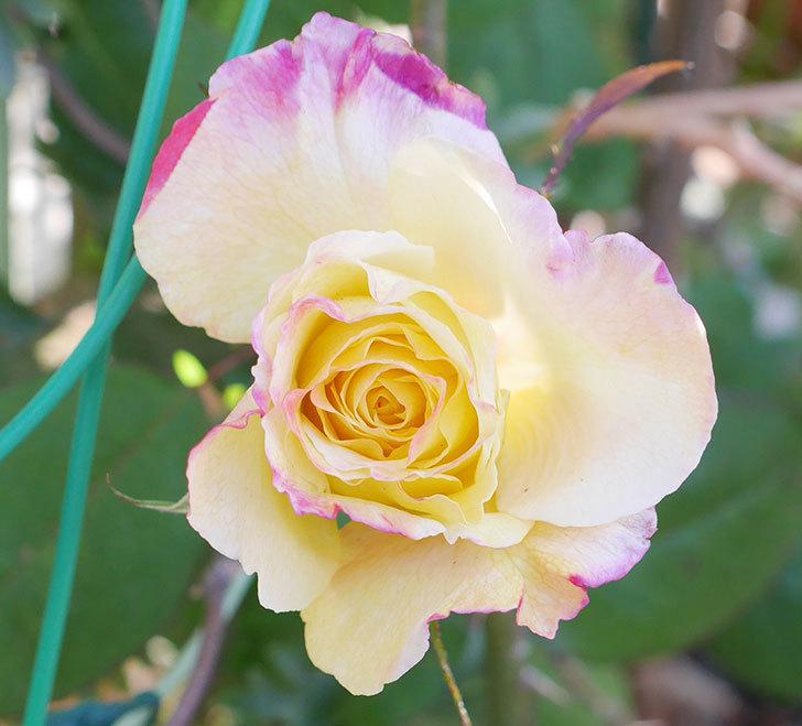 アブラカタブラ(木立バラ)の花が寒い中咲いた。2019年-2.jpg