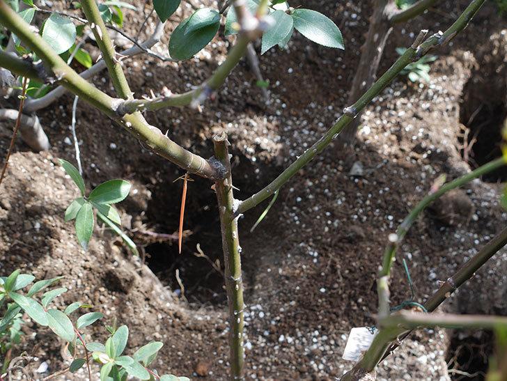 アプリコットキャンディ(Apricot Candy)に寒肥を施した。木立バラ。2021年-009.jpg
