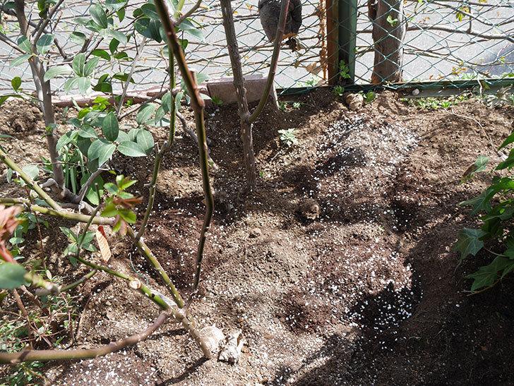 アプリコットキャンディ(Apricot Candy)に寒肥を施した。木立バラ。2021年-015.jpg
