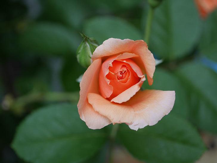 アプリコットキャンディ(Apricot Candy)の2番花が咲いた。木立バラ。2020年-001.jpg