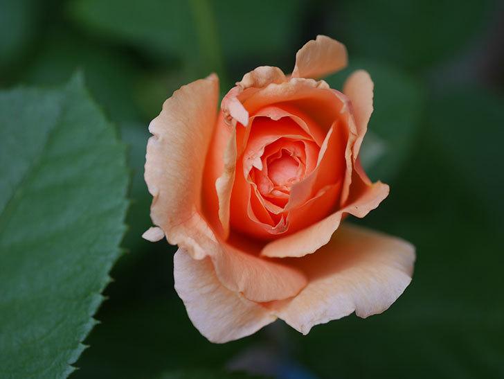 アプリコットキャンディ(Apricot Candy)の2番花が咲いた。木立バラ。2020年-003.jpg