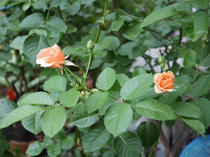 アプリコットキャンディ(Apricot Candy)の2番花が咲いた。木立バラ。2020年-004.jpg