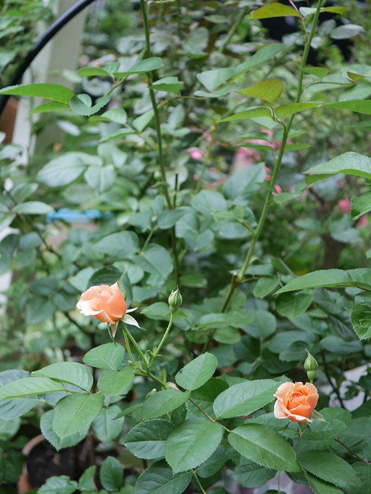 アプリコットキャンディ(Apricot Candy)の2番花が咲いた。木立バラ。2020年-005.jpg