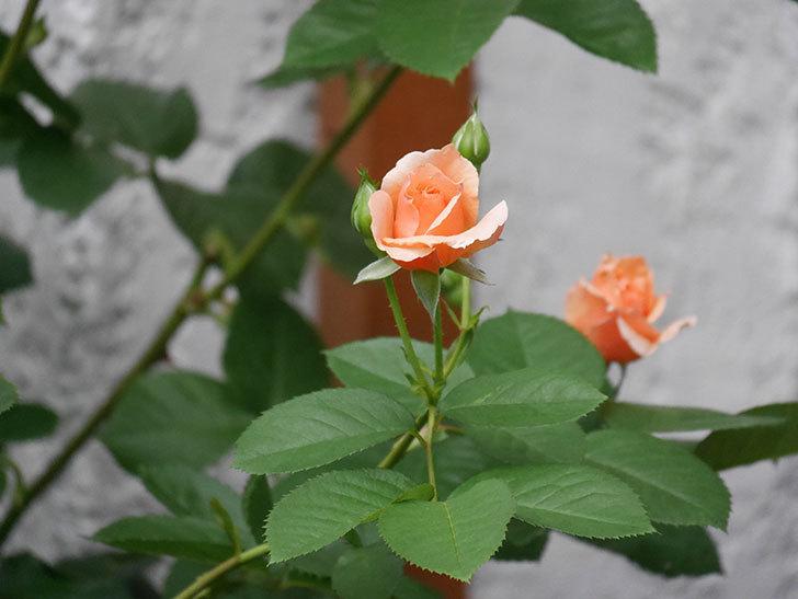 アプリコットキャンディ(Apricot Candy)の2番花が咲いた。木立バラ。2020年-007.jpg