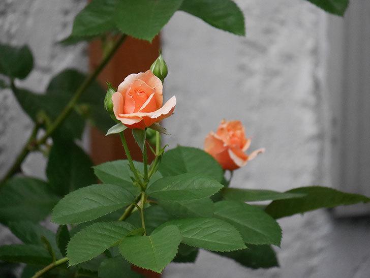 アプリコットキャンディ(Apricot Candy)の2番花が咲いた。木立バラ。2020年-008.jpg
