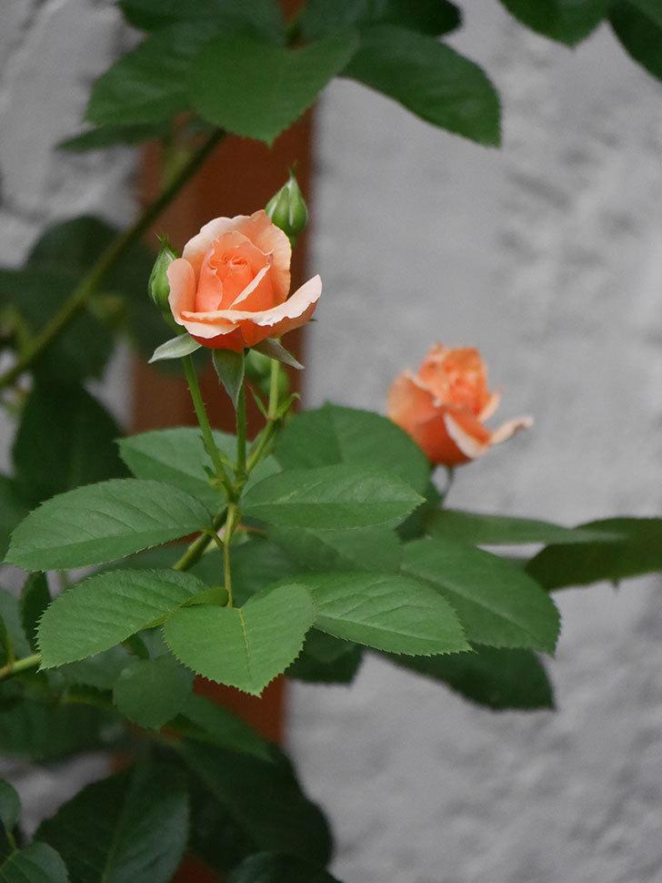 アプリコットキャンディ(Apricot Candy)の2番花が咲いた。木立バラ。2020年-009.jpg
