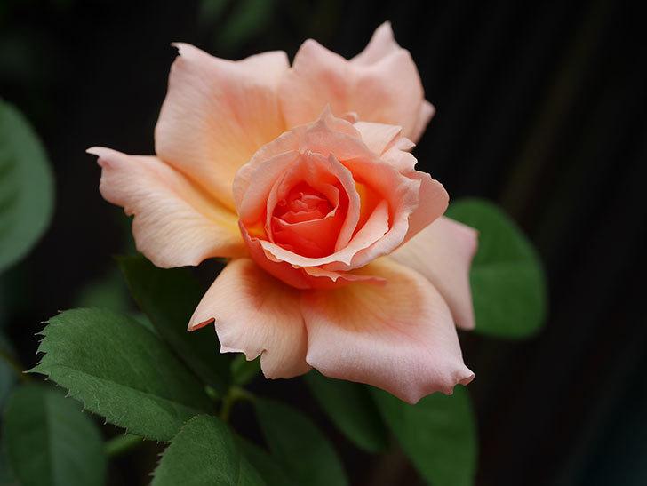アプリコットキャンディ(Apricot Candy)の夏花が咲いた。木立バラ。2020年-001.jpg