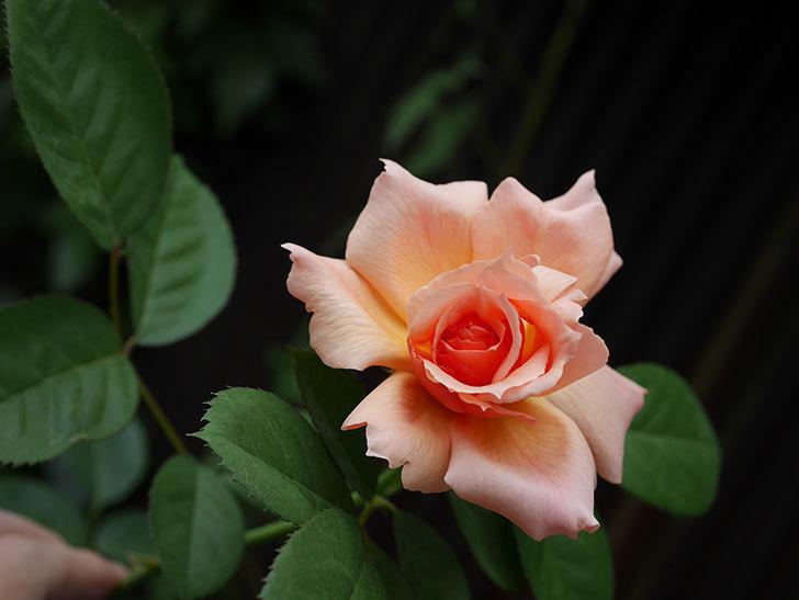 アプリコットキャンディ(Apricot Candy)の夏花が咲いた。木立バラ。2020年-002.jpg