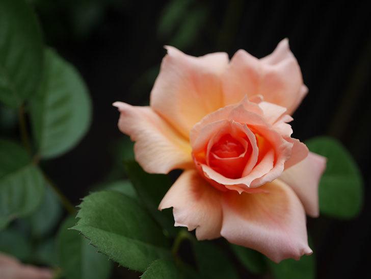 アプリコットキャンディ(Apricot Candy)の夏花が咲いた。木立バラ。2020年-004.jpg