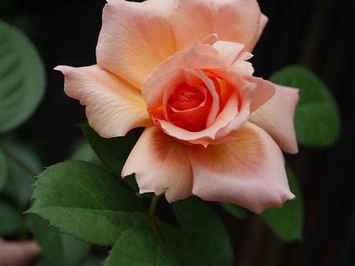 アプリコットキャンディ(Apricot Candy)の夏花が咲いた。木立バラ。2020年-005.jpg