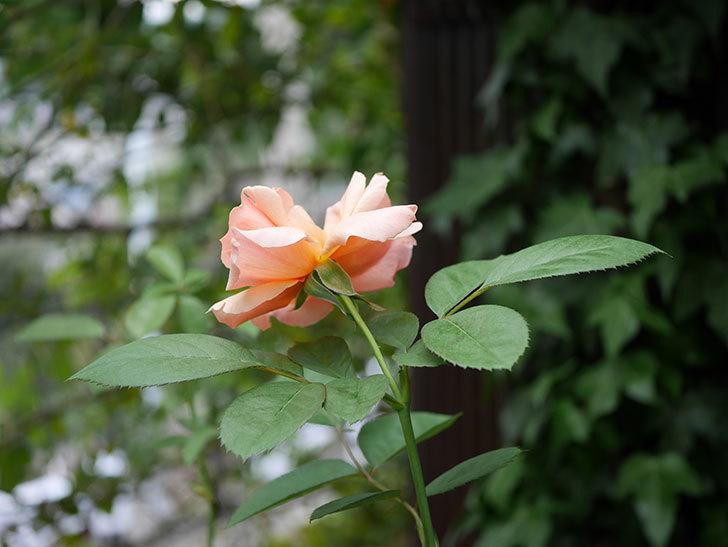 アプリコットキャンディ(Apricot Candy)の夏花が咲いた。木立バラ。2020年-008.jpg