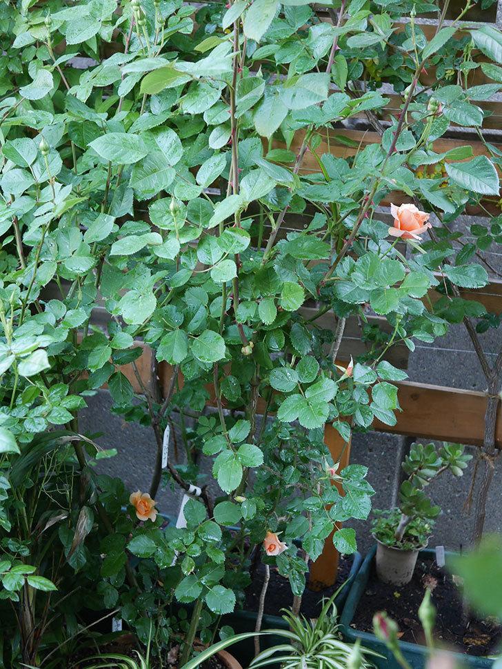 アプリコットキャンディ(Apricot Candy)の花が咲いた。木立バラ。2021年-001.jpg