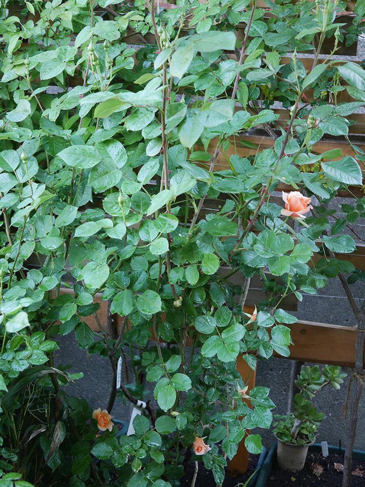 アプリコットキャンディ(Apricot Candy)の花が咲いた。木立バラ。2021年-002.jpg