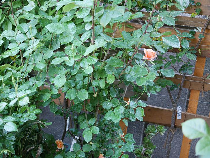 アプリコットキャンディ(Apricot Candy)の花が咲いた。木立バラ。2021年-003.jpg