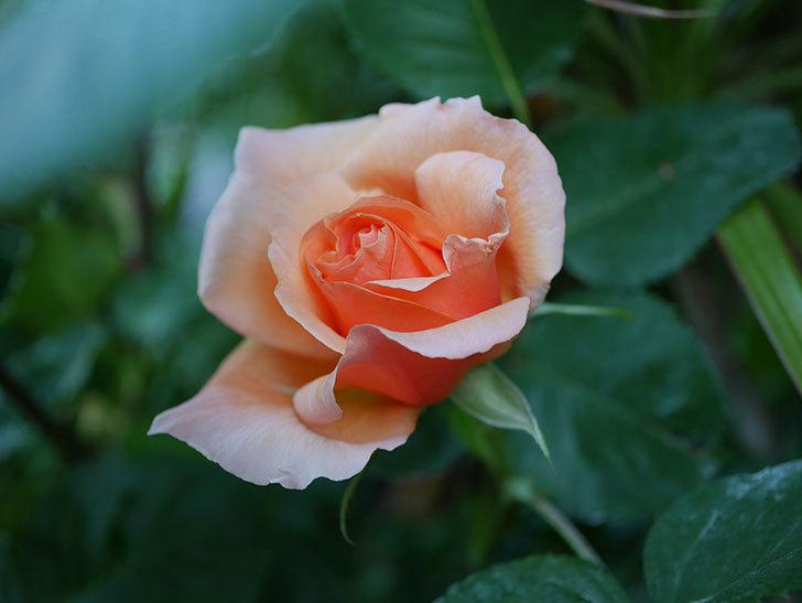 アプリコットキャンディ(Apricot Candy)の花が咲いた。木立バラ。2021年-004.jpg