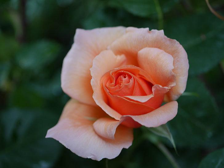 アプリコットキャンディ(Apricot Candy)の花が咲いた。木立バラ。2021年-005.jpg